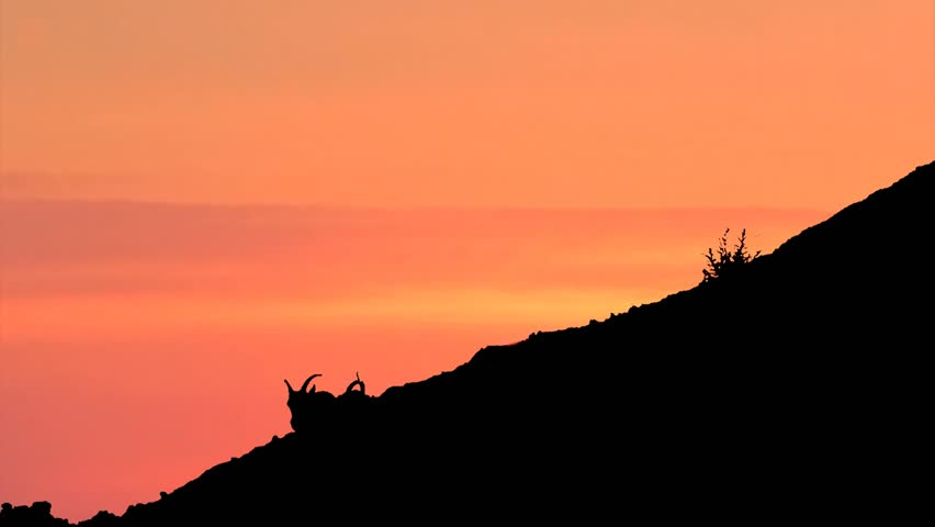 Silhouette of Bighorn Sheep Climbing Steep Mountain Ridge under late evening sunset sky in Western USA, Animals and Wildlife in Natural Pristine Environment in Nature Preserve Badlands National Park. silhouetted.