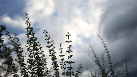 Oregano silhouette