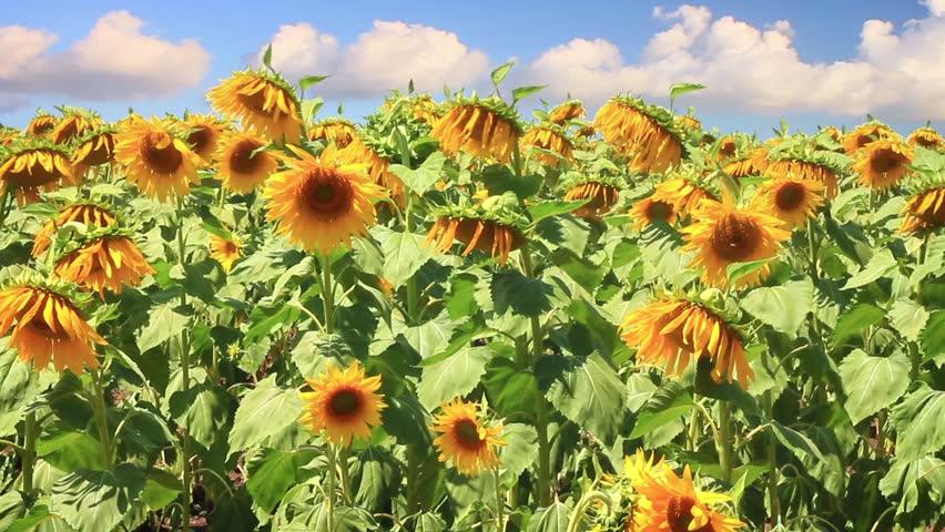 Sun flower field under sliding white clouds.