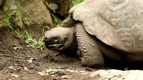 Giant Galapagos turtle closeup shot.