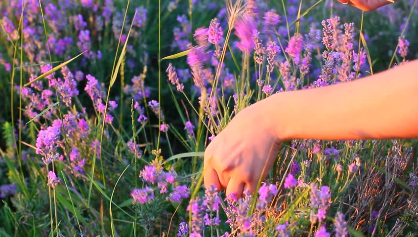 Hands gathering lavender plants in a field | Shutterstock HD Video #4420526