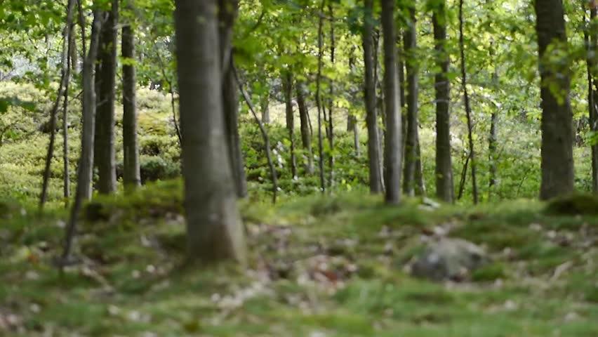Focus shift through Scandinavian forest. focus going from far to near #4442450