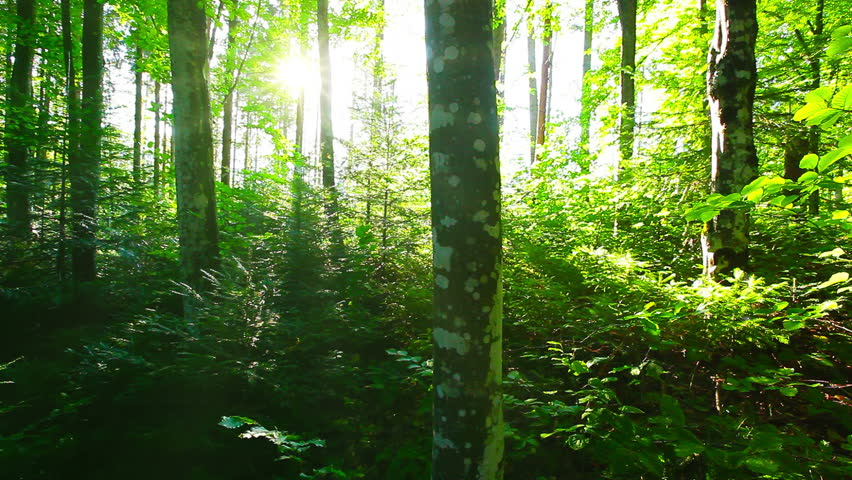 Morning in the forest | Shutterstock HD Video #4513763