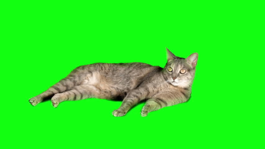 Cat on Green-Screen