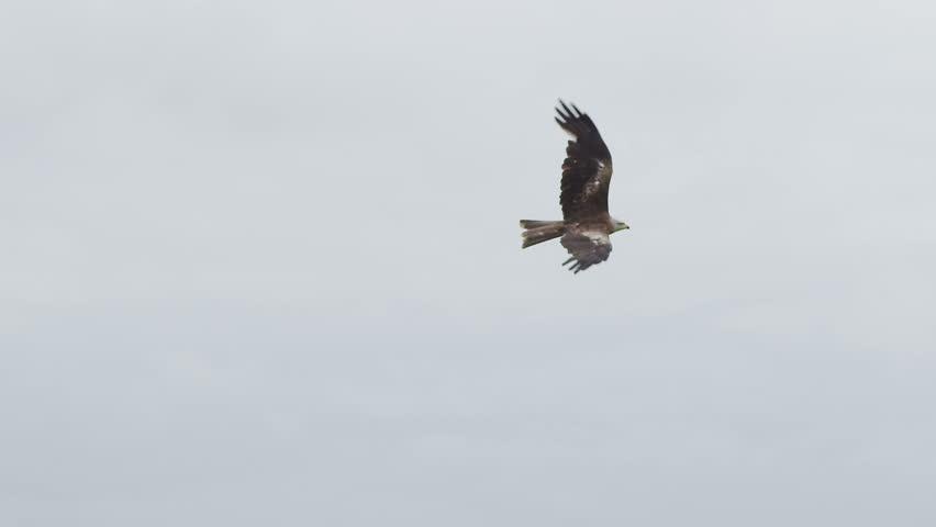 Hawk flying in the sky. Slow motion.  #4535345