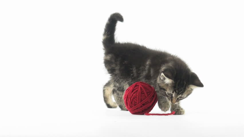 Cute baby tabby American shorthair kitten playing with a red ball of yarn on white background