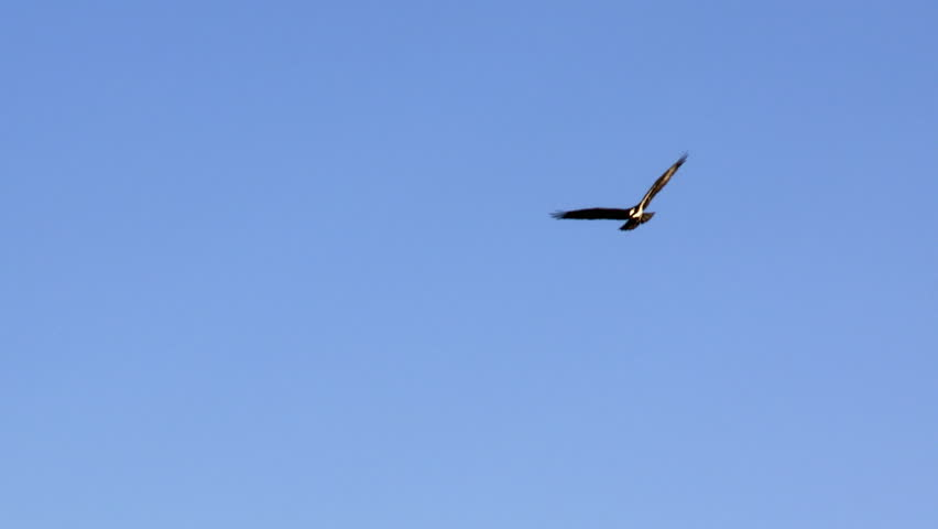 Eagle over blue sky background