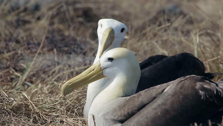 Albatross on the Galapagos Islands