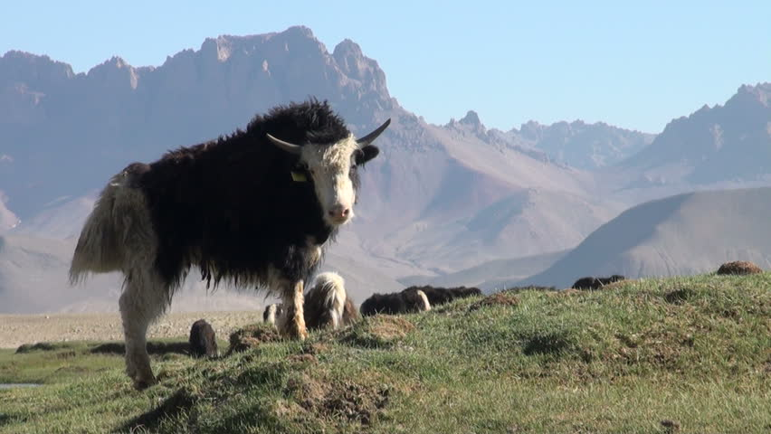 A young yak looks into the camera daringly, with a spectacular backdrop, in the remote high altitude Pamir ranges in Tajikistan | Shutterstock HD Video #4588337