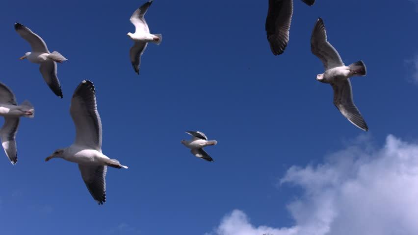 Flock of seagulls fly overhead, slow motion   Shutterstock HD Video #4620530