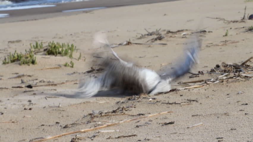 Damage from industrial fishing - fishing or long line. Seagull dies because entangled in fishing line with the bait, littered coast and ocean, human influence, clogging of water, by-catch   Shutterstock HD Video #4620884
