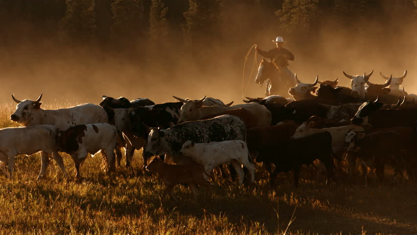 Cowboy herding cattle at sunset, slow motion | Shutterstock HD Video #4656038