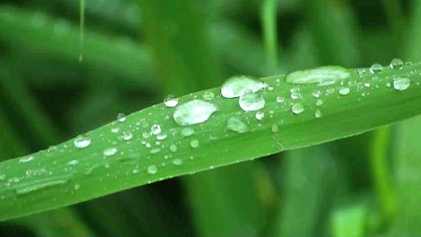 leaf of reed with water drips #466900