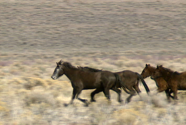 A group of wild horses move across the foothills near Reno, Nevada. | Shutterstock HD Video #467650