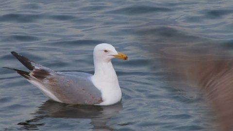 Seagull swimming in the ocean