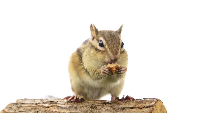 Chipmunk eating walnuts on a tree stump, isolated white background.
