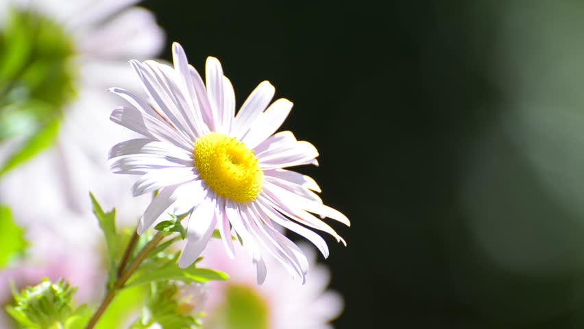 Pink Daisy flower background - Stock Video. Blur copyspace