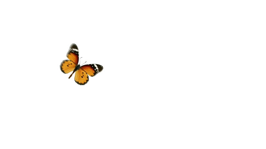 flight monarch butterfly on a white and green background with alpha channel