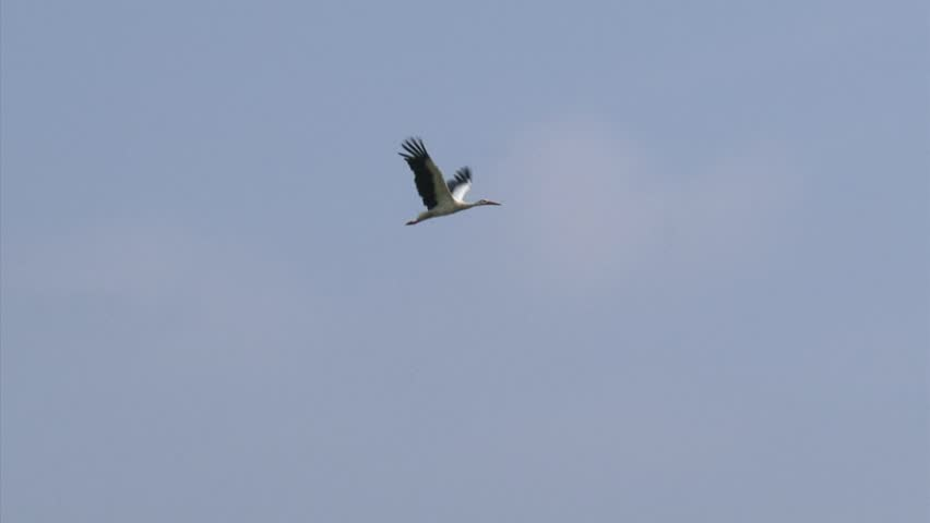 White stork (ciconia ciconia) in flight, bill clattering. Like all storks, it flies with its neck outstretched.