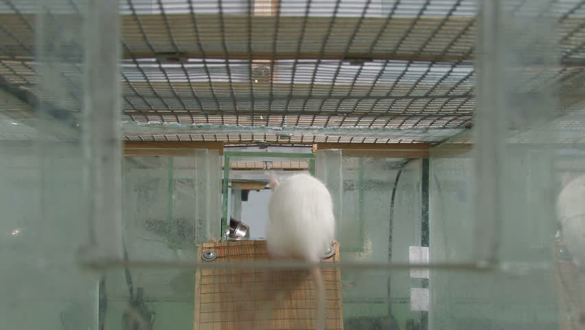 Rats in research laboratory