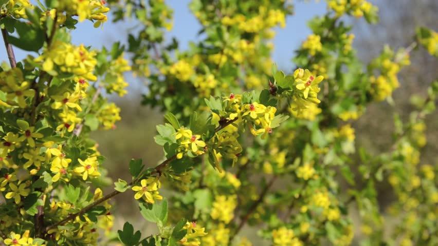 Header of Ribes aureum
