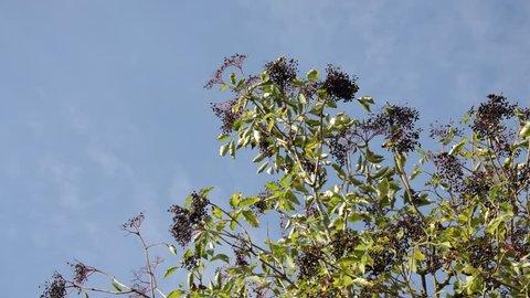 Common elder (Sambucus nigra)