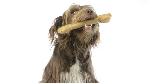 Close-up of a Crossbreed dog holding a bone in its mouth