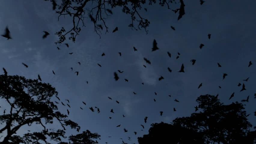 Fruit bat (flying fox) colony mass exodus at dusk with bats filling sky, tracking shot #4811540