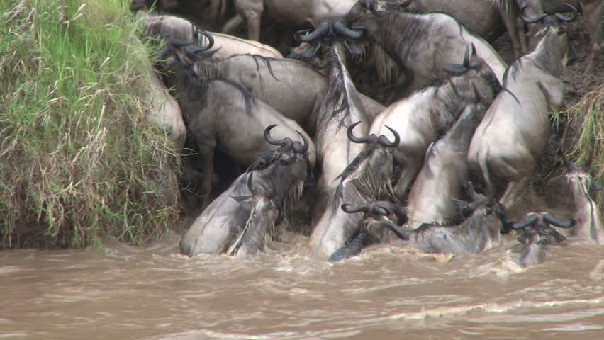 wildebeests unable to cross the river 3