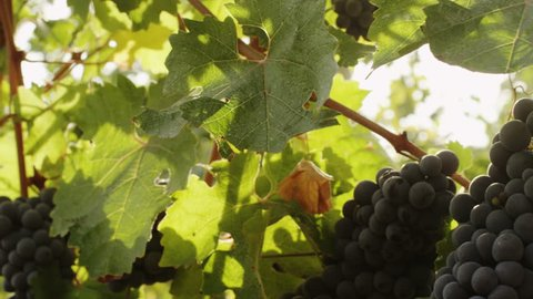 Beautiful shot of Grape in Vineyard at Sunny Day. Close-Up. Shot on RED Digital Cinema Camera in 4K (ultra-high definition (UHD)), so you can easily crop, rotate and zoom, without losing quality