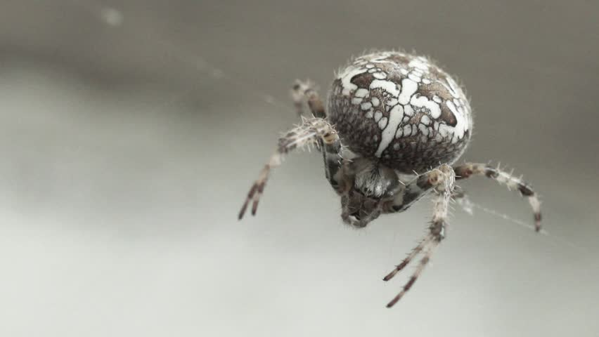 Spider with white butt pictures — img 6