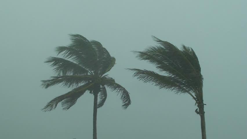 Hurricane Palm Trees #488041