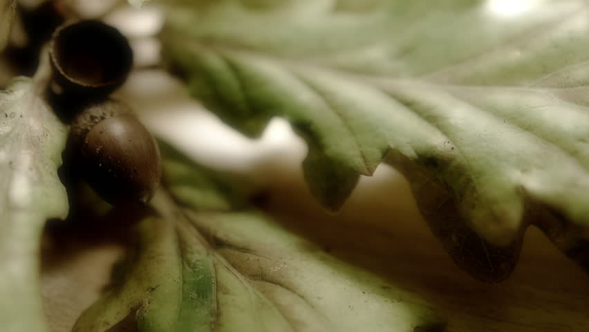 Acorn Leaf.