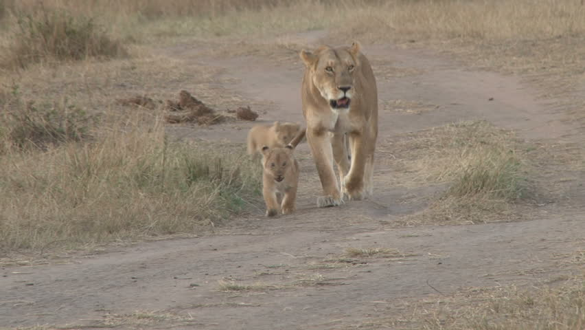 mother lion and two cubs 4  #4920053