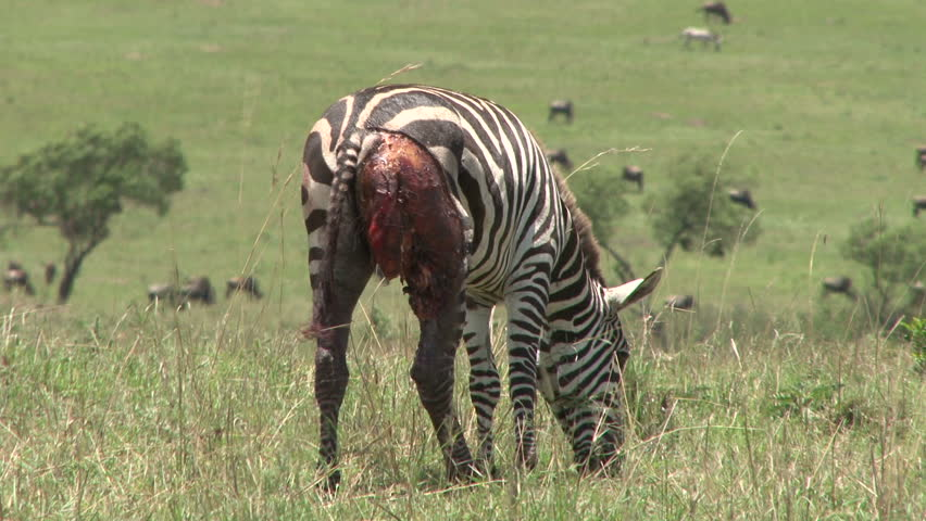 A very wounded zebra.