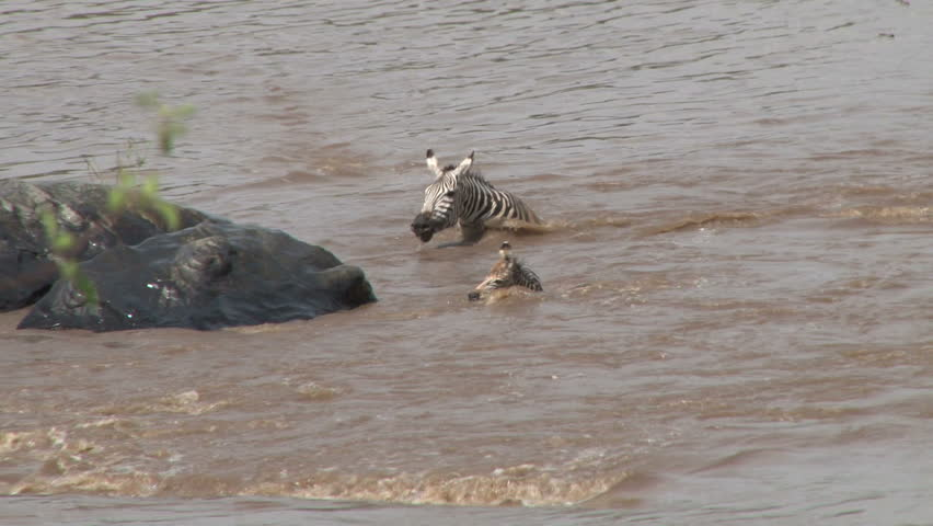 mother and baby zebra pursued by a crocodile but makes a good escape.