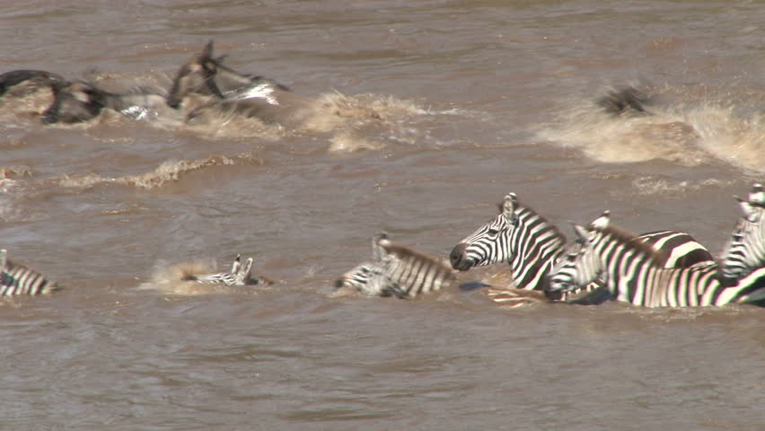 close up of zebras and wildebeests trying to cross a swollen mara river.