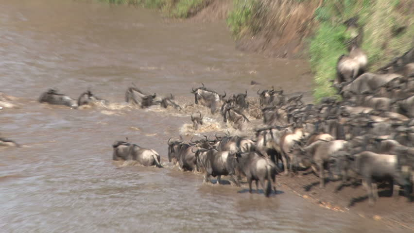 close up of wildebeests crossing a swollen river.