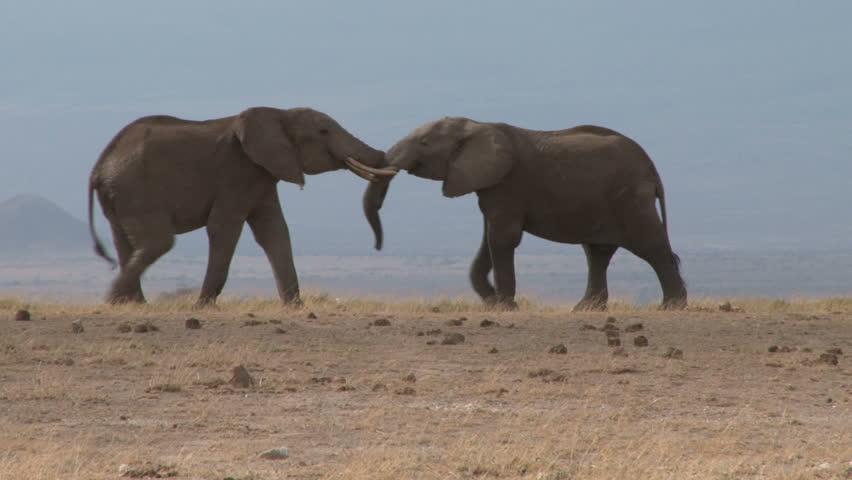 Bull elephants fighting.