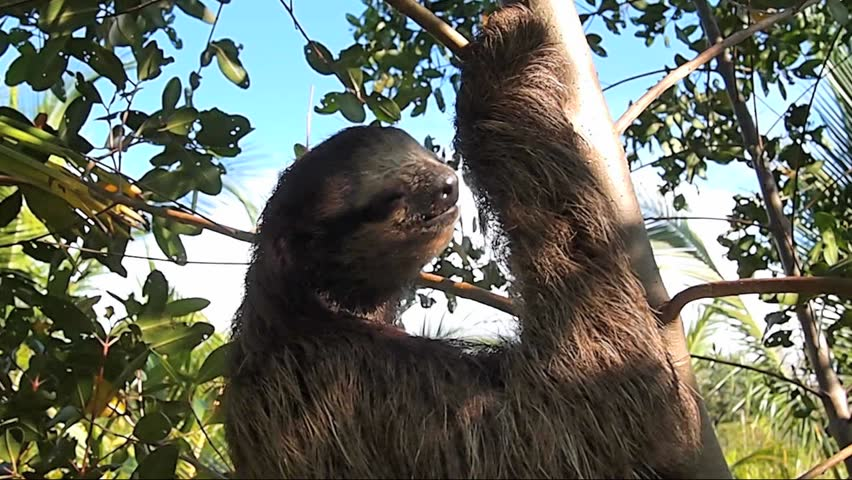 Close-up view of Three toed sloth climbing a tree, Central America, Panama | Shutterstock HD Video #4935185