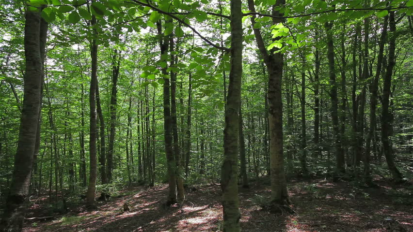 Tracking shot in a thick deciduous forest