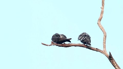 Two rock pigeons on small branch with clear background, thailand