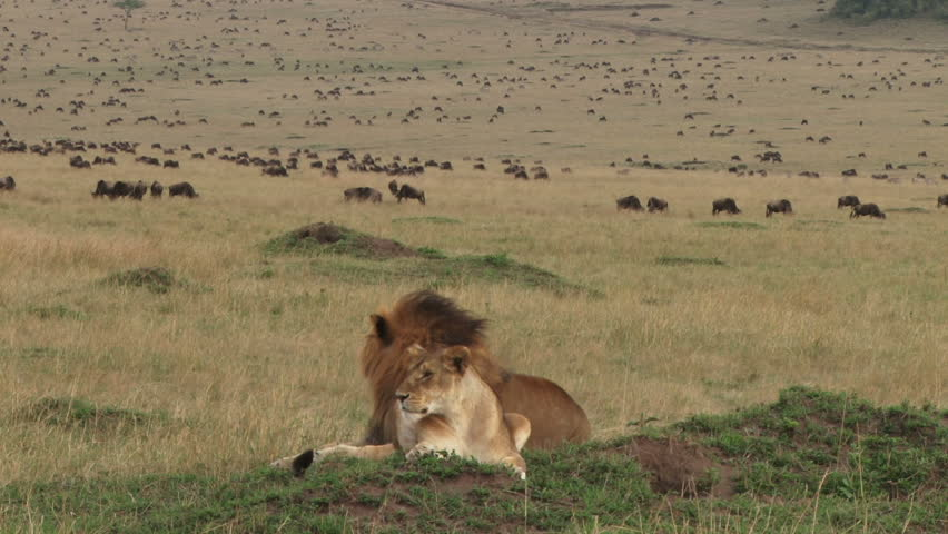 lion couple resting with wildebeests at the background  #4993949