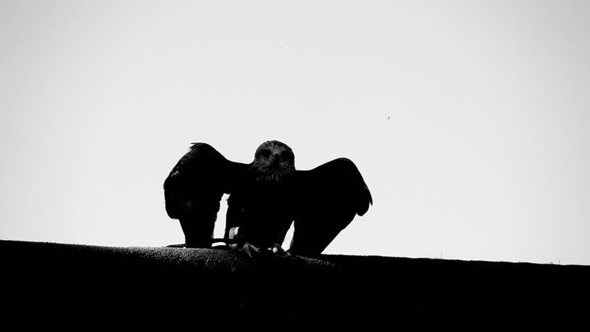 Eagle. bird. slow motion .animals wildlife | Shutterstock HD Video #4999826