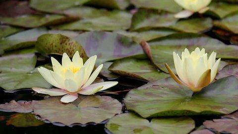 Beautiful yellow water lily flower on lake surface