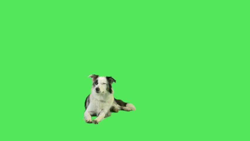 Barking dog in green screen studio  | Shutterstock HD Video #5018567