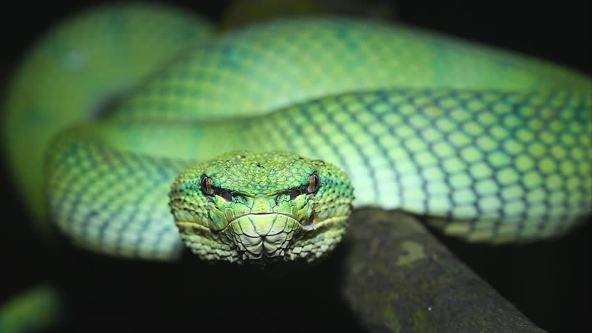 A venomous Wagler's Green Tree Pit Viper (Tropidolaemus wagleri) looks at camera and flicks tongue in Borneo jungle. AKA Temple Viper because of abundance around Temple of the Azure Cloud in Malaysia.