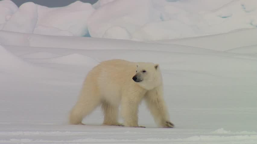 Polar bear wandering through an arctic landscape.