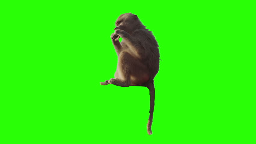 Monkey eating fruit in front of green screen. Shot with red camera. Ready to be keyed.