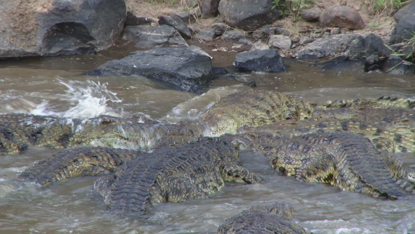 Crocodile rolling round to cut off meat from dead wildebeest. 1